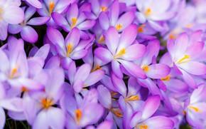 Картинка макро, весна, лепестки, крокусы, много, шафран