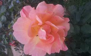 Картинка Роза, Цветок, Листья