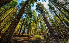 Обои Деревья, Парк, США, секвойи, National Park, Sequoia and Kings
