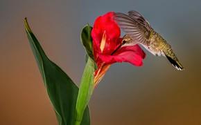 Картинка цветок, природа, колибри, черногорлый архилохус