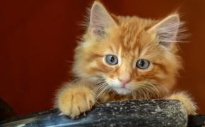 Картинка кошка, кот, взгляд, котенок, фон, лапы, пушистый, рыжий, котёнок, мордашка, милашка, голубоглазый