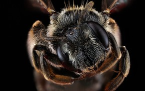 Картинка природа, пчела, насекомое, andrena virginiana