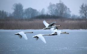 Картинка зима, озеро, белые, лебеди, летят