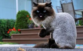 Обои шерсть, язык, кот