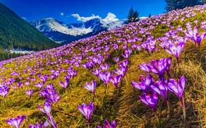 Обои лес, трава, солнце, весна, сиреневые, деревья, снег, крокусы, фиолетовые, склон, горы