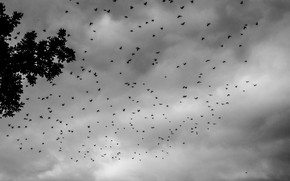 Картинка Clouds, Sky, Birds, Tree, Summer, Swarm, Black & White, Crowes