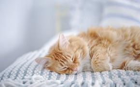 Обои кошка, сон, рыжий кот, спящая, Мейн-кун