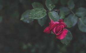 Обои листья, капли, роза, лепестки, боке