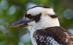 Картинка птица, клюв, смеющаяся кукабара