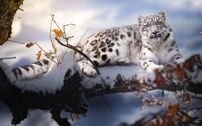 Обои животное, хищник, снег, зима, природа, ирбис, Thai Phung, барс, ветки