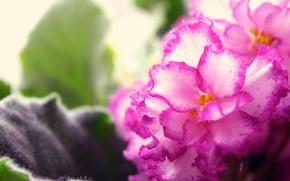 Картинка макро, цветы, розовые, широкоформатные, фиалка