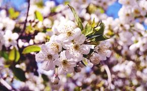 Картинка макро, цветы, природа, вишня, весна, бутоны, ветвь, цветение