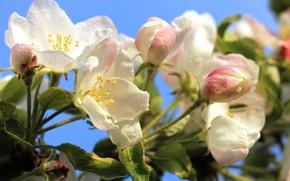 Картинка дерево, весна, яблоня