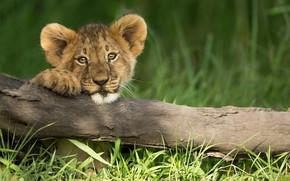 Обои львёнок, маленький лев, трава, ветка, взгляд