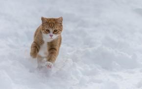 Обои снег, рыжий кот, зима, прогулка, кот, пробежка