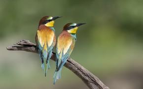 Обои золотистые щурки, парочка, птицы