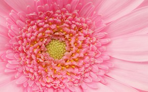 Картинка розовый, лепестки, гербера