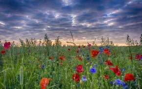 Картинка поле, небо, пейзаж, маки, васильки, цветы полевые