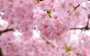 Картинка ветки, вишня, дерево, весна, сакура