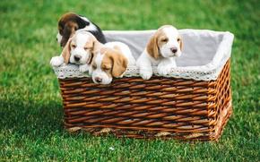 Картинка корзина, щенки, бигль
