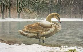 Картинка зима, снег, деревья, птицы, пруд, птица, берег, лебедь, водоем, дикая природа, оперение, одинокий, пестрый, роскошный