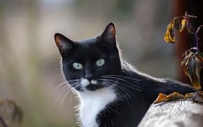 Картинка кот, взгляд, фон, котэ