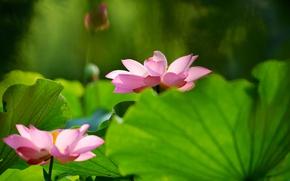 Картинка зелень, цветок, листья, цветы, зеленый, фон, размытие, лотос, розовые, лотосы, два