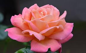 Картинка макро, роза, лепестки, бутон