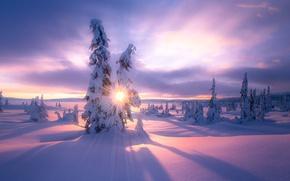 Обои зима, солнце, свет, снег, ёлки