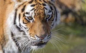 Картинка морда, тигр, хищник