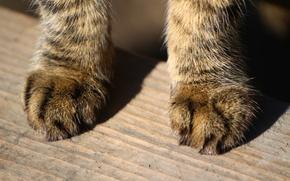 Обои кот, лапы, шерсть, доска