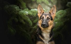 Картинка взгляд, морда, портрет, собака, Немецкая овчарка, еловые ветки