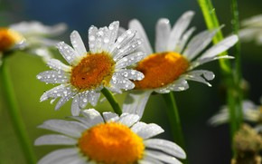 Обои роса, лепестки, ромашка, цветы, капли