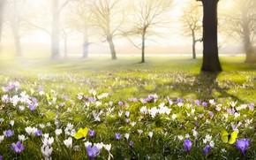 Обои цветок, желтый, природа, бабочка, весна, крокусы, цветение