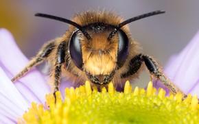 Картинка глаза, ромашка, усики, насекомое, лепестки, мордочка, цветок, пчела, фон, макро, пыльца