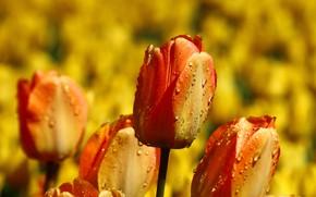 Картинка поле, капли, цветы, фон, яркие, желтые, сад, тюльпаны, оранжевые, бутоны, клумба, много, огненные