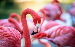 Картинка птица, перья, клюв, окрас, фламинго