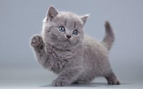 Картинка котенок, серый, пушистик