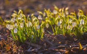 Картинка весна, подснежники, боке