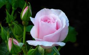 Обои цветок, розовая, роза, куст, бутоны