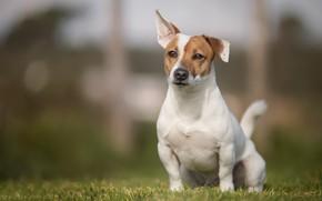 Картинка трава, собака, боке, пёсик, Джек-рассел-терьер