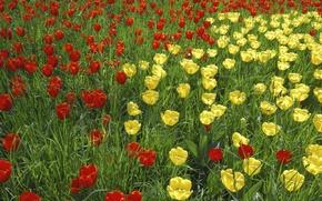 Картинка трава, природа, лепестки, сад, луг, тюльпаны