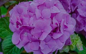 Картинка цветы, сиреневая, гортензия