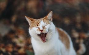 Картинка кот, рыжий, зевает