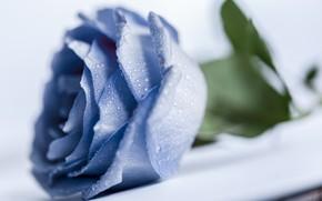 Картинка капли, макро, роза, голубая