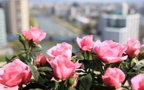Картинка цветы, Розы, цветение