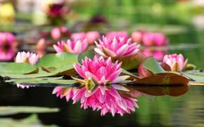 Картинка листья, вода, цветы, лилии водяные