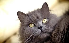 Картинка кот, взгляд, портрет, киса