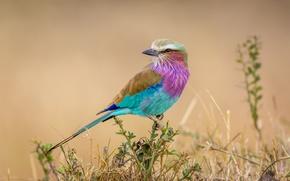 Картинка ветки, фон, птица, ветка, колючки, Африка, Coracias caudata, Сиреневогрудая сизоворонка, Lilac-breasted Roller