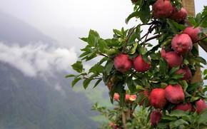 Картинка лето, капли, природа, дождь, яблоки